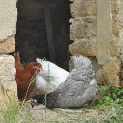 Les poules, alliées du potager